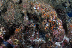 Lobsters in Rocky Reef. Lobsters are found on a rocky seafloor near Cocos Island in Costa Rica stock photos