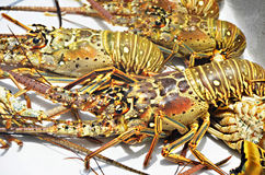 Lobsters in San Pedro, Belize. Lobsters caught in San Pedro, Belize stock images
