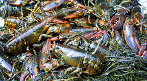 Lobsters and seaweed. Lobsters stored in seaweed. A traditional New England lobster bake, lobster steamed in seaweed stock image