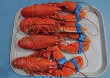 Lobsters on a tray. 4 Lobsters on a tray royalty free stock images