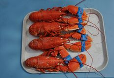 Lobsters on a tray. Four Lobsters on a tray royalty free stock photography