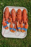 Lobsters on a tray. Four Lobsters on a tray royalty free stock image