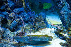 Lobsters in underwater aquarium Royalty Free Stock Photography