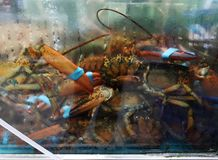 Lobsters in upscale supermarket royalty free stock images