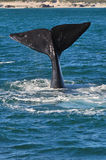 LOBTAILING PORTRAIT 2. A Southern Right whale lobtailing near the coast in Walker bay ,Hermanus, South Africa Stock Image