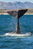 LOBTAILING PORTRAIT 3. A Southern Right whale lobtailing near the coast in Walker bay ,Hermanus, South Africa Stock Photo