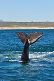 LOBTAILING PORTRAIT 10. A Southern Right whale lobtailing near the coast in Walker bay ,Hermanus, South Africa Royalty Free Stock Photo