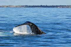 LOBTAILING SOUTHERN RIGHT 3. A Southern Right whale lobtailing in Walker Bay, Hermanus,South Africa Royalty Free Stock Photography