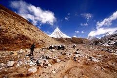 LOBUCHE VILLAGE, KHUMBU NEPAL- Porter and his Caravan of Yaks Royalty Free Stock Photo