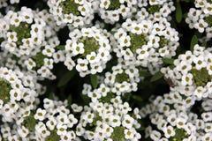 Lobularia maritima, Sweet alyssum Royalty Free Stock Photography