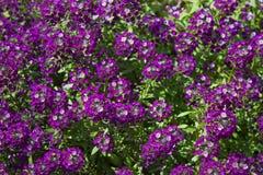 Lobulariamaritima geroepen zoete alyssum of zoete Alison Royalty-vrije Stock Afbeelding