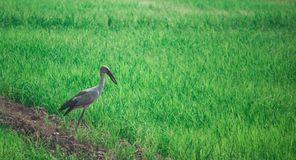Local birds, Anastomus oscitans ,Asian Openbill , local bird walking around the organic rice fields and looking for shell food. Local birds, Anastomus oscitans royalty free stock image