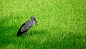 Anastomus oscitans or Asian openbill stork, local bird walking around in organic rice field and looking for shell food. royalty free stock photo