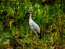 Local birds, Anastomus oscitans or Openbill stork bird living in organic rice field and looking for shell food in countryside. royalty free stock photography
