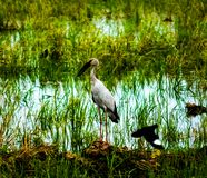 Local birds, Anastomus oscitans or Openbill stork birds living in organic rice field and watching for shell food in countryside . stock photos