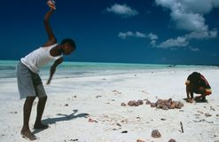 Local boys collecting conches, Zanzibar Stock Photography