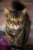 Local breed domestic cat looking at the camera. Royalty Free Stock Photo