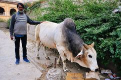 A local with a bull near Jaipur, India. Stock Image