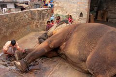 Local caretaker cleaning elephant's foot at small elephant quart Royalty Free Stock Images