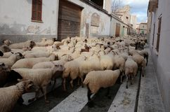 Cattle crossing the village of Muro in Mallorca royalty free stock photos