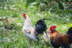 Local chicken Royalty Free Stock Photo