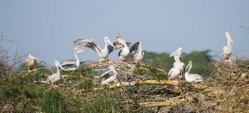 Local de assentamento África do Sul do pelicano Imagens de Stock