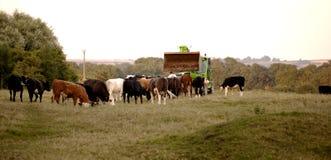 A local farmer feeds his cattle. Stock Photos