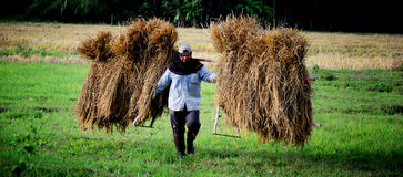 A local farmer shoulder straw in Chiangmai, Thailand Stock Photo