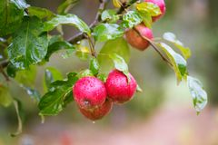 Finnish domestic apples. Local Finnish domestic apples in a tree- rainy day Stock Photo
