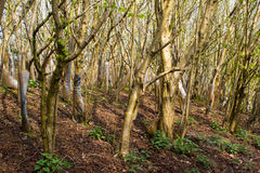Local forestry planting of hundreds of European Hornbeam trees very close together to form a thick copse on both sides of a path t Stock Photos