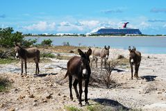 Local Gang. Of wild donkeys with a cruise liner in a background on Grand Turk island (Turks & Caicos Royalty Free Stock Image