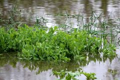 Local garden with fresh Green pea or Pisum sativum and Green onions or Spring onions completely covered with flood water during. Local garden with fresh Green royalty free stock photo