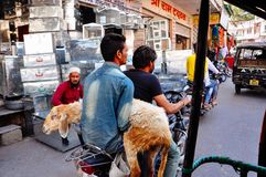 A local with a goat in Udaipur, India. A local transports his goat in Udaipur, India stock photography