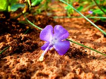 Local grass purple flowers wilt to the ground. Royalty Free Stock Photos