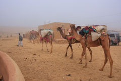 Local guide with camels walking in early morning fog through sma Royalty Free Stock Photo