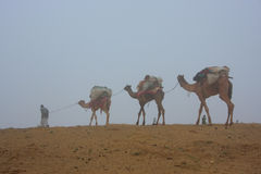 Local guide with camels walking in early morning fog, Thar deser Stock Photography