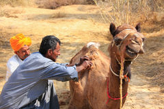 Local guide grooming his camel during safari, Thar desert, India Stock Photography