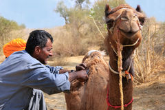 Local guide grooming his camel during safari, Thar desert, India Royalty Free Stock Photos