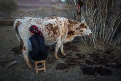 Local Kazakh a woman milking a cow outdoor. Royalty Free Stock Image