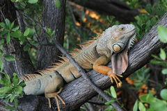 Local Key Largo Iguana. This local iguana can often be found sunbathing in a tree near the water in Key Largo Florida Royalty Free Stock Photo