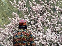 local lady and blooming apricot tree in prestine Hunza Valley, Karakoram Highway, Pakistan royalty free stock image