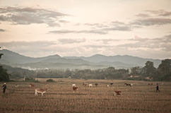 Local lifestyle. Cattle farming in the field after harvest Royalty Free Stock Photo