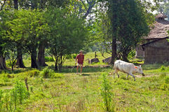 Local man drives the white cow by cane to the barn in Chitwan National Park, Nepal Stock Images