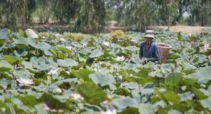 Local man picking lotus in pond Stock Image