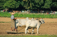 Local man working on a farm field, Amarapura, Myanmar Royalty Free Stock Photos