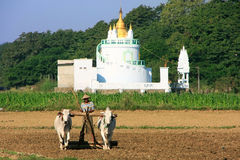 Local man working on a farm field near Buddhist temple, Amarapur Stock Photos