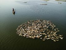 Local Mandalay Villager on wooden boat with his flock of ducks in Taung Tha Man Lake near U Bein Bridge. Myanmar travel destination stock photography