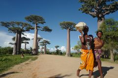 Local people and baobab trees in Morondava, Madagascar. The spectacular Avenue of Baobabs and the local people in Morondava, Madagascar royalty free stock images