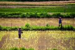 Local people plant a rice Royalty Free Stock Image