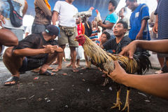Local people during traditional cockfighting competition. Stock Images